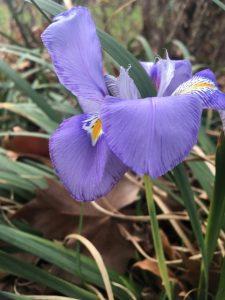 Iris unguicularis or Algerian iris