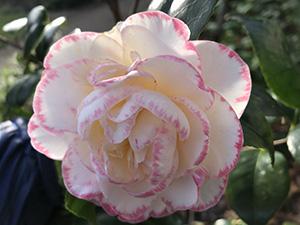 Camellia Margaret Davis