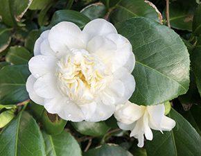 Camellia oleifera hybrid Snow Flurry