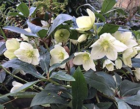 Hellebore Christmas Rose