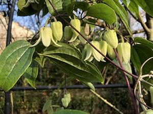 clematis urophylla Winter Bells